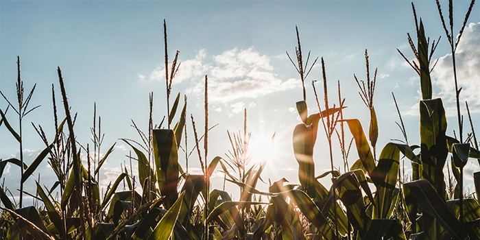 A close-up view of corn stalks with a blue sky in the background
