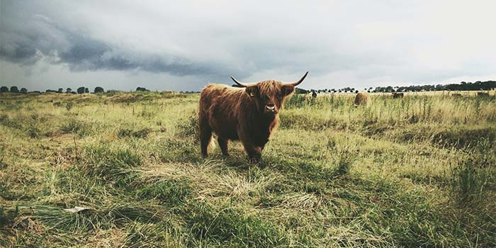 Bison in a grass field with a cloudy sky