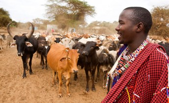 An African farmer takes care of his livestock