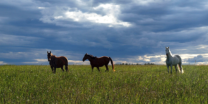 Horses grazing on the grasslands