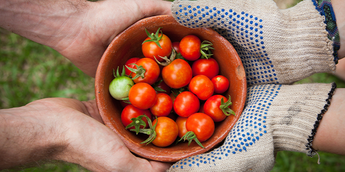 Two pairs of hands, one in gloves, cradle a bowl of freshly picked tomatoes.
