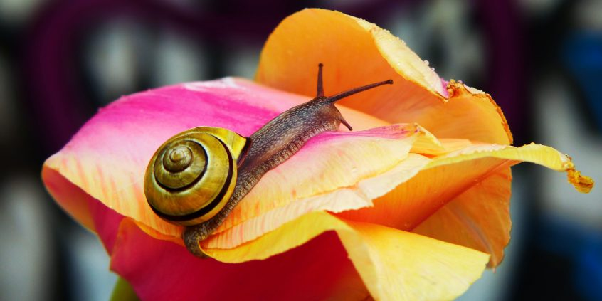 A snail on a pink and orange blossom.